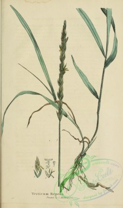 furage_plants-00181 - triticum repens