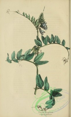 furage_plants-00182 - vicia sepium