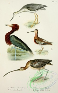 game_birds-00026 - Greater Yellow-Legs, Reddish Egret, Red-Breasted Snipe, Long-Billed Curlew