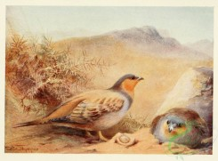 game_birds-00038 - SANDGROUSE