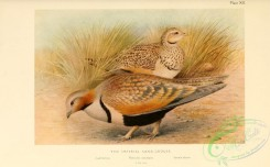 game_birds-00052 - Imperial Sandgrouse, pterocles orientalis