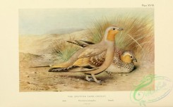 game_birds-00054 - Spotted Sandgrouse, pteroclurus senegallus