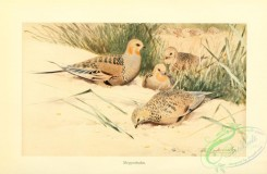game_birds-00060 - Pallas's sandgrouse