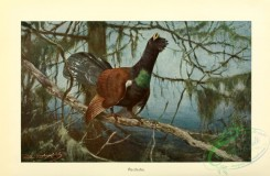game_birds-00063 - Western Capercaillie