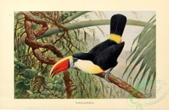 game_birds-00065 - Red-billed toucan