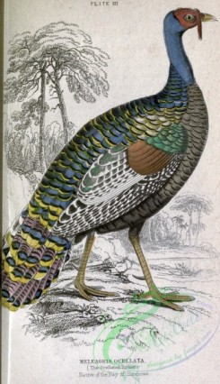 game_birds-00091 - Ocellated Turkey, melegris ocellata