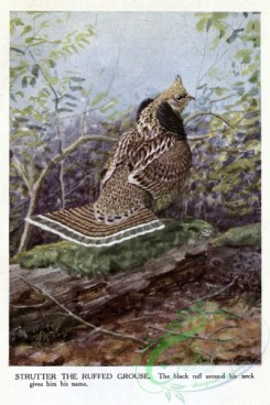 game_birds-00092 - RUFFED GROUSE