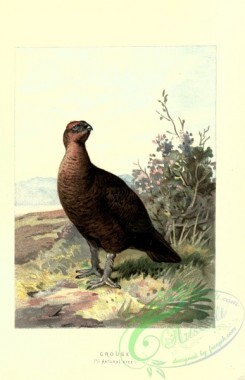 game_birds-00094 - GROUSE