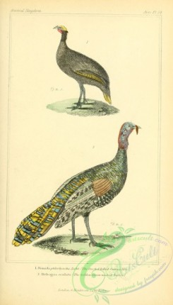 game_birds-00108 - Crested billed-Guinea Hen, Golden Green-necked Turkey