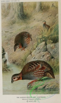 game_birds-00142 - Rufous-necked Hill Partridge