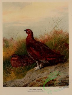 game_birds-00167 - Red Grouse, lagopus scoticus