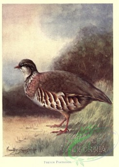 game_birds-00218 - French Partridge