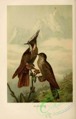 game_birds-00228 - Green-bearded Helmetcrest, oxypogon guerinii