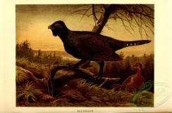 game_birds-00258 - Western capercaillie
