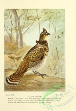 game_birds-00259 - 012-Ruffed Grouse