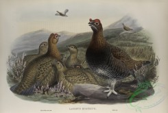 game_birds-00322 - 437-Lagopus scoticus, Red Grouse