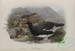 game_birds-00324 - 439-Lagopus mutus, Summer plumage, Ptarmigan (summer plumage)