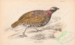 game_birds-00334 - 007-Common Francolin, perdix francolinus
