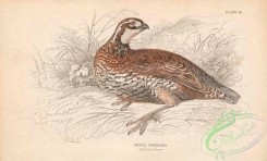 game_birds-00338 - 011-Virginian Quail or Partridge, ortyx borealis