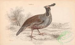 game_birds-00339 - 012-Californian Ortyx, ortyx californica