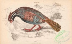 game_birds-00340 - 013-Long-tailed Wood-Partridge, ortyx macroura