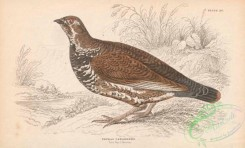 game_birds-00341 - 015-Spruce Grouse, tetrao canadensis