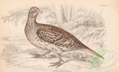 game_birds-00343 - 017-Sharp-tailed Grouse, tetrao phasionellus