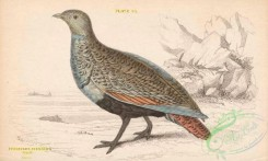 game_birds-00351 - 025-Large or Black-bellied Sand-Grouse, pterocles arenarius