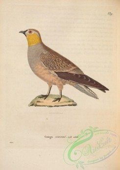 game_birds-00464 - Crowned Sandgrouse