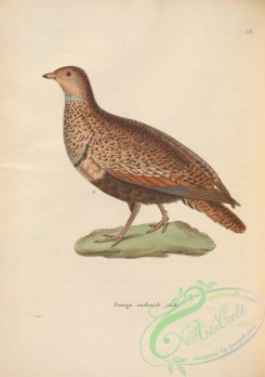 game_birds-00465 - Large or Black-bellied Sand-Grouse, 2