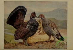 game_birds-00482 - Dusky Grouse