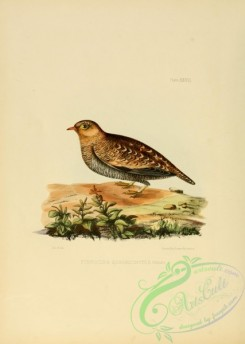 game_birds-00488 - Four-banded Sandgrouse, 2