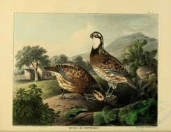 game_birds-00493 - Quails or Partridges