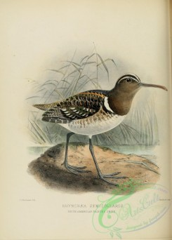 game_birds-00500 - SOUTH AMERICAN PAINTED SNIPE