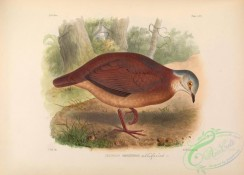 game_birds-00525 - White-faced Quail-Dove
