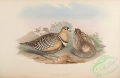 game_birds-00532 - Banded Sand-Grouse