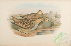 game_birds-00533 - Coronetted Sand-Grouse