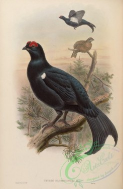 game_birds-00534 - Georgian Black Grouse