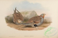 game_birds-00535 - Pallas's Sand-Grouse