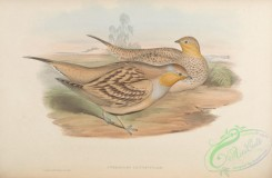 game_birds-00536 - Spotted Sand-Grouse