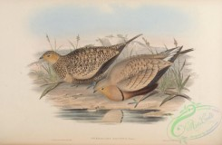 game_birds-00538 - Whistling Sand-Grouse
