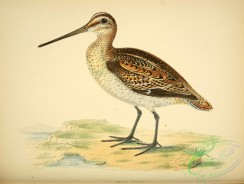 game_birds-00552 - Great Snipe