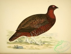 game_birds-00556 - Red Grouse