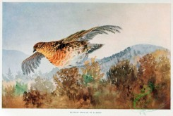 game_birds-00561 - RUFFED GROUSE