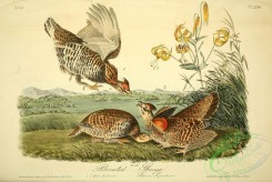 game_birds-00596 - Pinnated Grouse