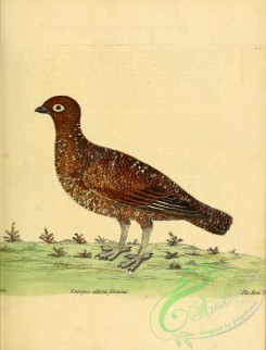 game_birds-00615 - Red Grouse