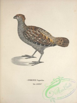 game_birds-00623 - Spot-winged Wood-Quail