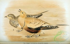 game_birds-00642 - Common Sandgrouse, pteroclurus exustus