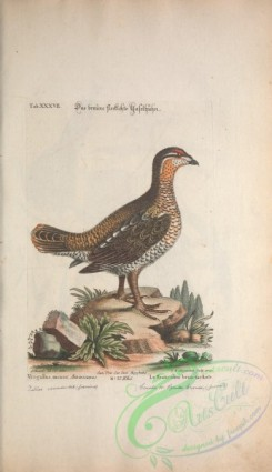 game_birds-00674 - Canada or Spruce Grouse