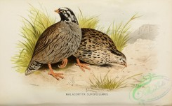 game_birds-00686 - malacortyx superciliaris
